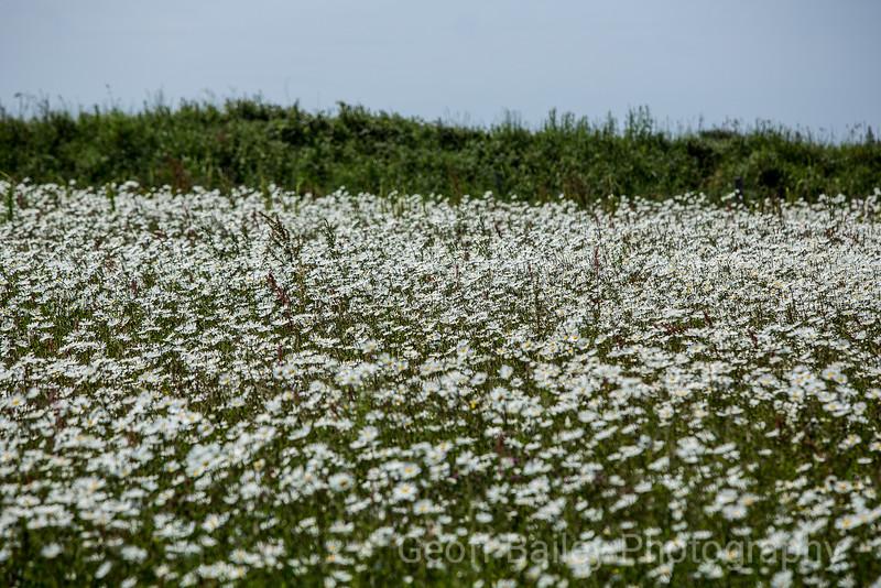 Wild Flowers - Rhossili