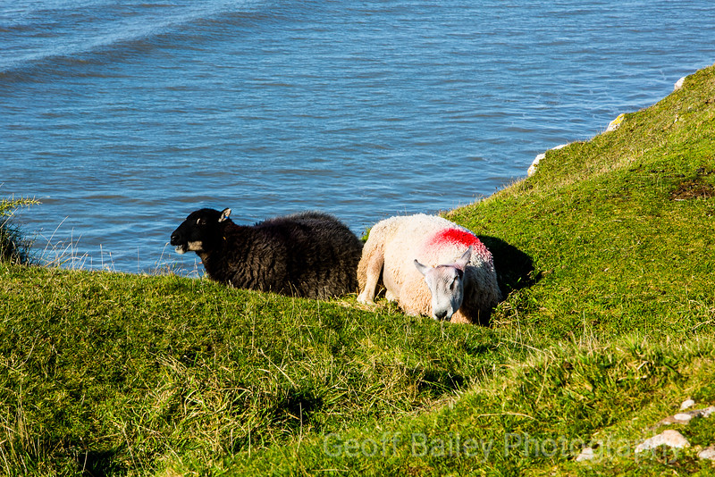 Rhossili Sheep