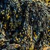 Seaweed - Gower
