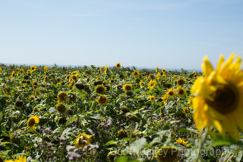 Rhossili Sunflowers