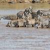 Zebras at the river