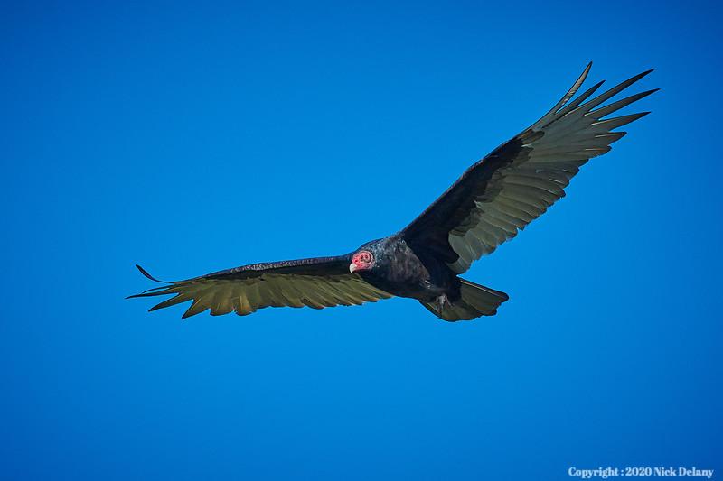 Turkey Buzzard in Flight
