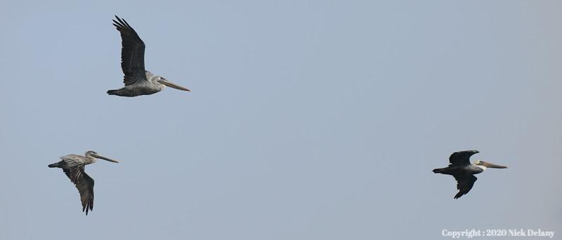 Pelican Trifecta
