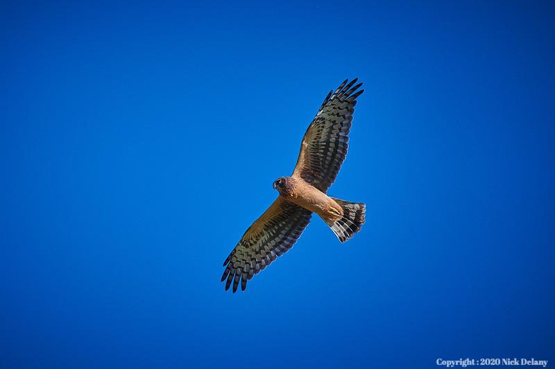 Northern Harrier in flight