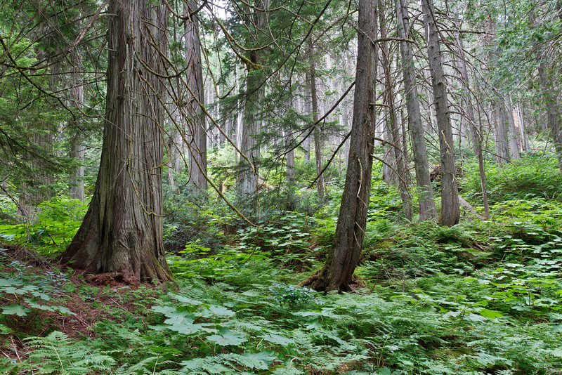 The Canadian Rockies have all the superlatives, including giant forests...