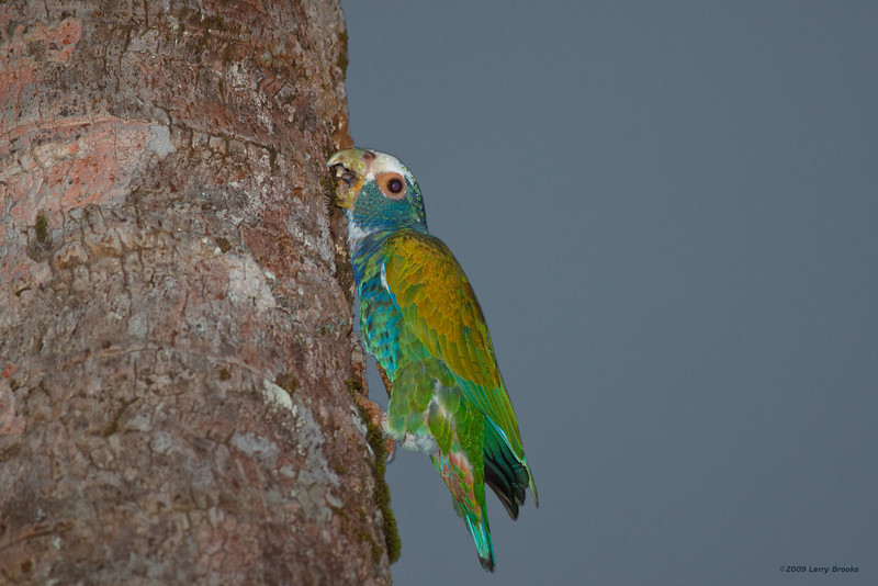 White-crowned parrot in Tortuguero National Park