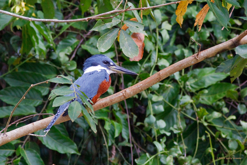 Ringed Kingfisher seen on the Rio Frio in Cano Negro