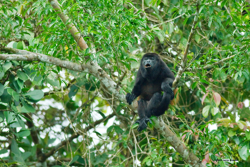 Howler monkey makes his presence known along the Rio Frio