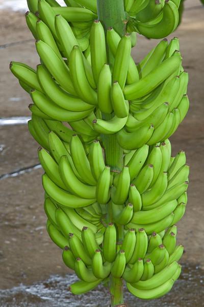 Freshly harvested bananas