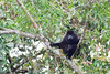 Howler monkey scowls at the tourists on the Rio Frio in Cano Negro