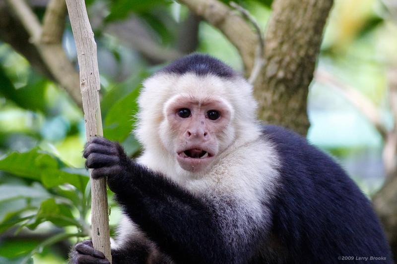 Capuchin Monkey at Zoo Ave
