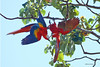 A pair of scarlet macaws hang precariously while play fighting just north of Manuel Antonio