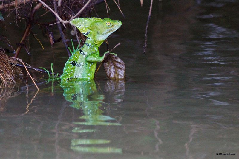 """A common basilisk in the Rio Frio. They are nicknamed """"Jesus Christ lizard"""" for their ability to run on water when threatened."""