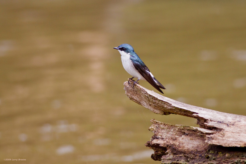 Blue and White Swallow seen along the Rio Frio in Cano Negro National Wildlife Refuge