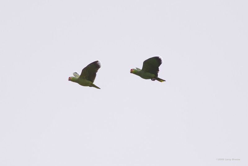 Red-lored parrots fly by in Tortuguero National Park