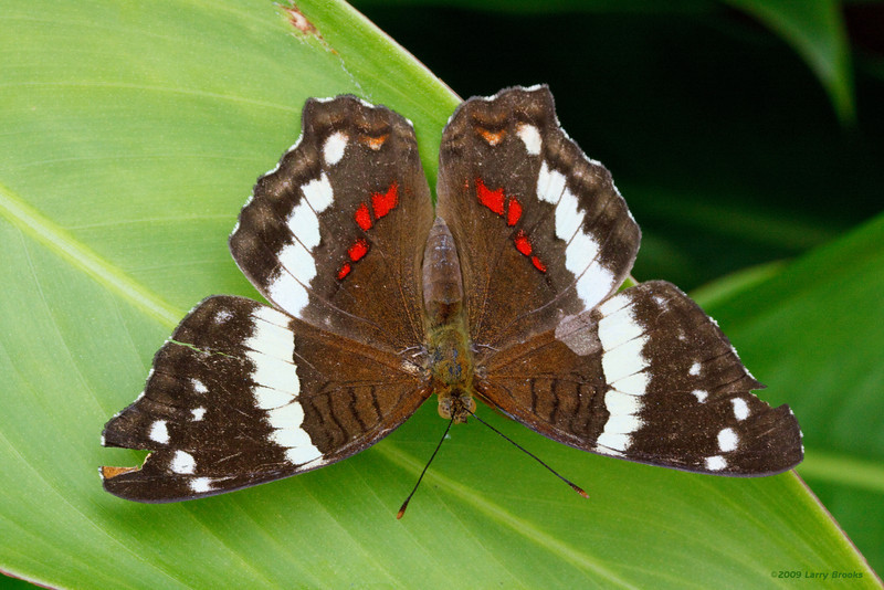 Beautiful butterfly, unfortunately with some wing damage. Seen in Tortuguero village.