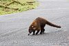 White-nosed coati, in a hurry to forage with the rest of the pack