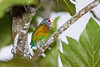 A shy white-crowned parrot in Tortuguero National Park