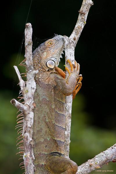 A green iguana hangs for dear life above the Rio Frio