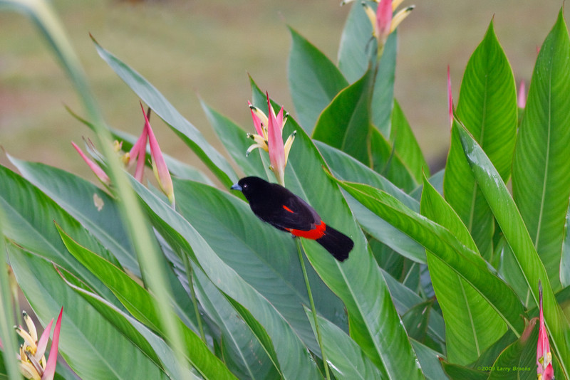 A scarlet-rumped tanager enjoys the gardens at the Lomas del Volcan lodge