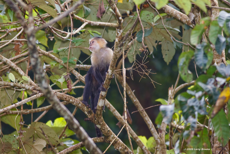 A Capuchin Monkey is on the prowl for a snack in Tortuguero National Park