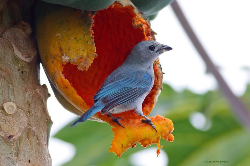 A blue-gray tanager enjoys some papaya