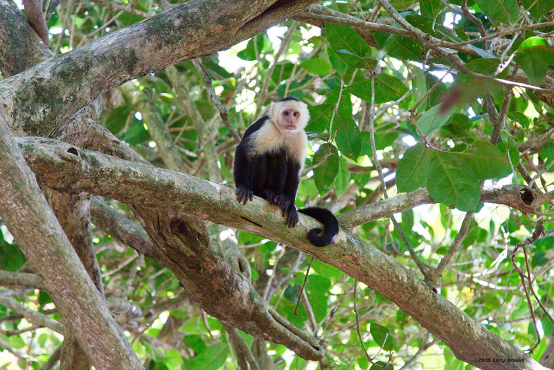 A lonely capuchin monkey would gladly accept your sympathy, as long as it is edible!