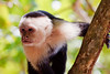A capuchin monkey waits for an opportunity to rob an unsuspecting tourist