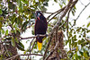 A Montezuma Oropendola keeps a watchful eye on the nests near Tortuguero village.