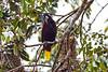 A Montezuma Oropendola keeps a watchful eye on the nests near Tortuguero village.