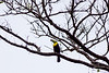 A Keel-billed Toucan keeps watch over Tortuguero National Park