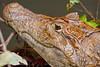 A caiman portrait