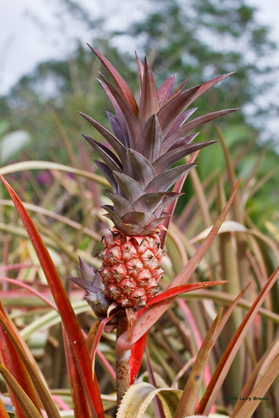 An up and coming pineapple!