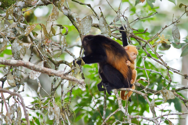 A blonde baby howler monkey is considered rare in Costa Rica.