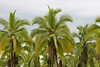 Palm trees along the way to Tortuguero National Park (photo by Kerry Brooks)