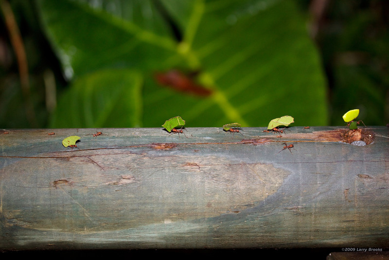Busy leafcutter ants maintain a supply line
