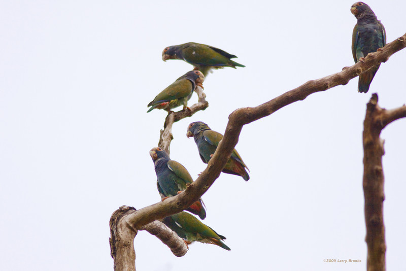 A crowd of white-crowned parrots starts to gather for afternoon socializing in Tortuguero National Park