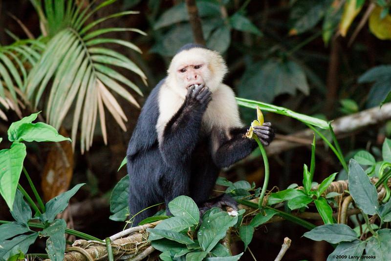 This Capuchin monkey seems desensitized to the tourits along the Rio Frio