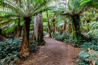 Maits Rest Rainforest walk in Great Otway National Park