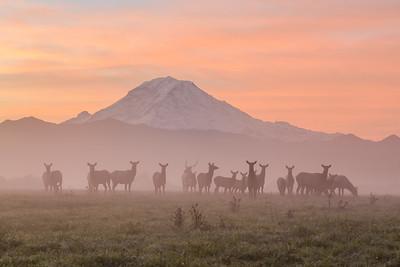 Foggy Mountain Elk