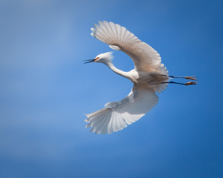 Snowy white egret, Sonoma County Photographer