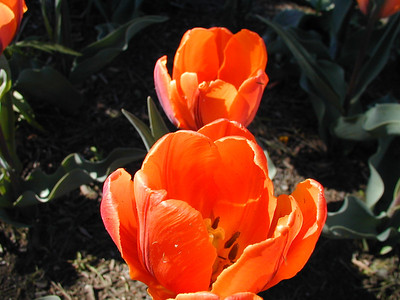 Orange Flowers for Stacy