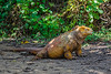 The Galapagos Land Iguana is also endemic to the islands, often growing to a length of 3 to 5 feet, weighing as much as 25 pounds.