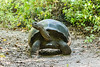 The Galapagos tortoise is the largest living species of tortoise, some weighing as much as 800 pounds!