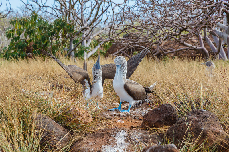 Blue-footed Boobies are perhaps the island's premier entertainment. Here a couple are performing their courtship rituals.