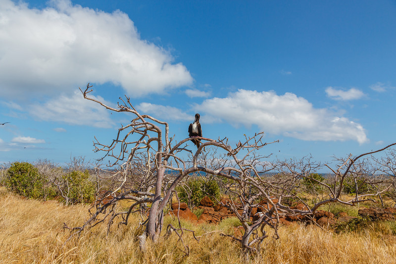 Magnificent Frigatebirds live by piracy, stealng their food from other birds.