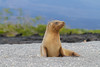 Galapagos sea lions are yet another endemic species.