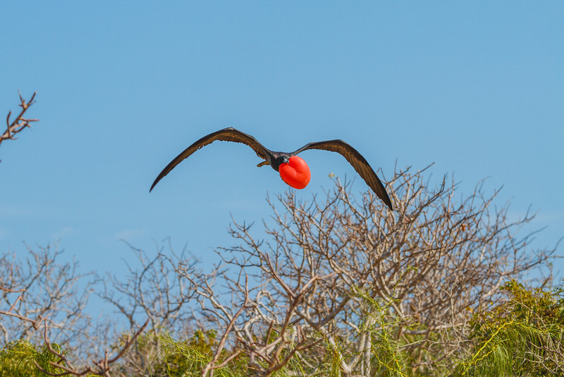The red pouch of the male Magnificent Frigatebird is inflated to attract a mate. Sexy, eh?