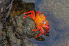 Brightly colored Sally Lightfoot crabs provide a striking contrast against the black lava rock.