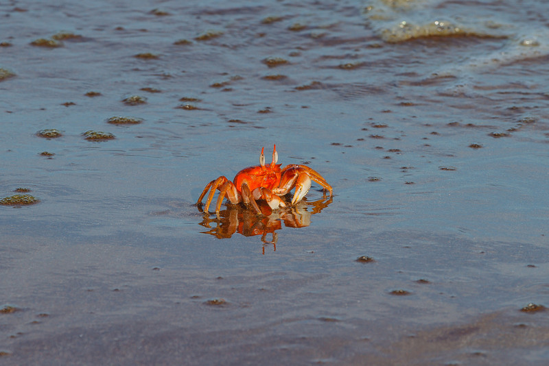 The Ghost Crab is very shy and hence difficult to photograph. This one is obviously a slacker!